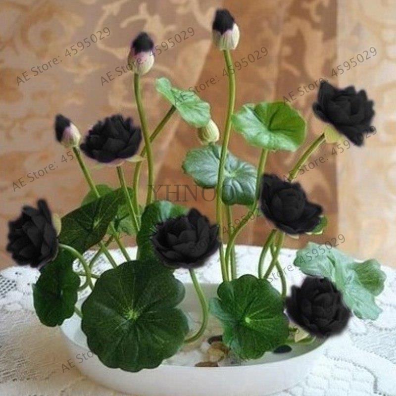 как вырастить лотос из семян в пруду