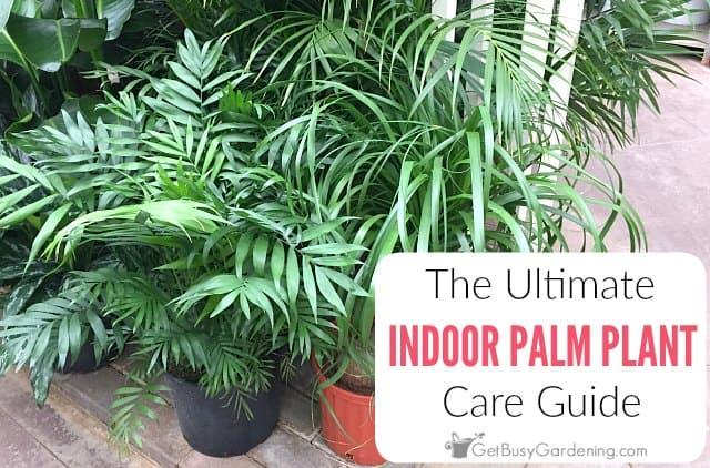 How To Care For Palm Trees Indoors: The Ultimate Palm Plant Care Guide