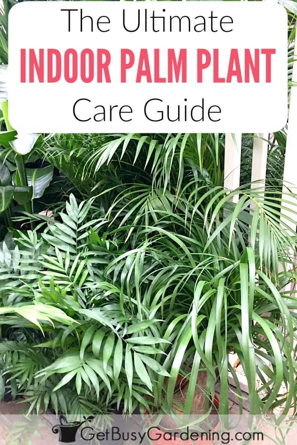 Learn everything you need to know about how to care for a palm plant indoors with these in-depth indoor palm plant care instructions, including watering palm plants, best lighting for palms, fertilizer, soil, pest control, pruning, and fixing common problems (like brown leaves).