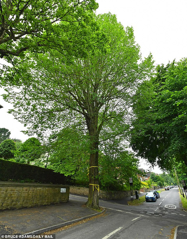 Dutch elm disease is a fungal condition that is spread by beetles and causes wilting and dead leaves killed around 25 million trees in southern Britain between 1960–1970. Pictured, a rare elm tree in Sheffield which was under threat from local council plans to cut it down