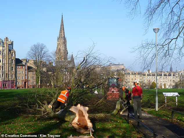 The affliction causes leaves to wilt and die off, generates discolouration in both spring and autumn and also causes young shoots to wither. Pictured, an infected elm tree is felled in Bruntsfield Links, Edinburgh to contain the spread of the disease