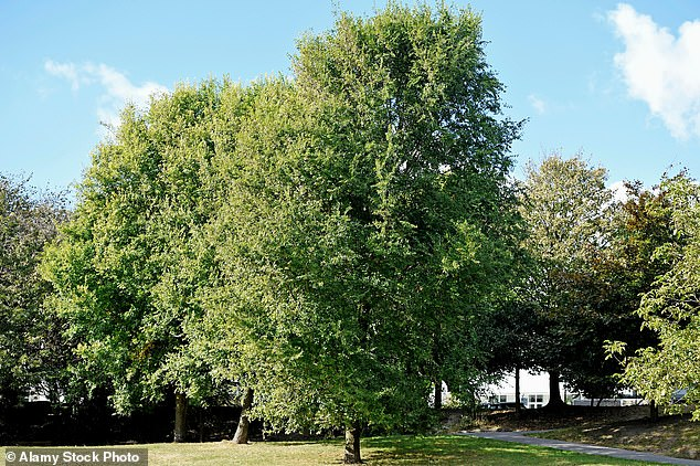 Elm trees are making a comeback in Britain thanks to conservation efforts and the development of new breeds that are resistant to Dutch elm disease. (Pictured: Elm trees in Queens Park, Brighton, in 2016)