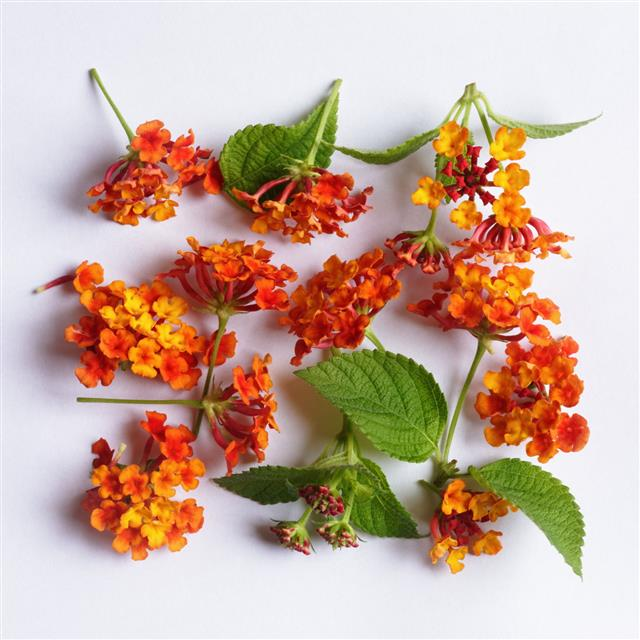 Lantana Flowers With Leaves