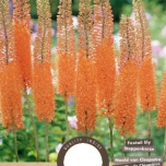 Eremurus Cleopatra - Foxtail Lily