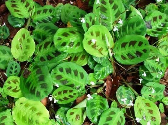Маранта (48 фото): описание, уход за растением в домашних условиях ... | 412x552
