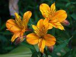 Альстремерия золотистая посадка и уход – описание с фото, посадка из семян, уход