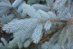 Голубая ель фото – особенности посадки и ухода за колючей елью. Как размножить ель семенами? Описание ели, сорта и болезни