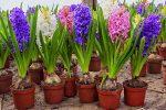 Цветы луковичные для сада и огорода многолетники – Описание 21 Сорта (Фото) +Отзывы