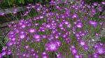 Агростемма гигант – виды и сорта, выращивание и применение, опасность