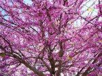 Церцис европейский иудино дерево – Почему иудино дерево так называется, как сажать и ухаживать