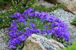 Эдрайантус злаколистный – Эдрайантус — альтернатива колокольчикам на альпийских горках