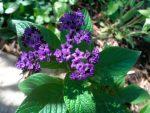 Гелиотроп выращивание – Гелиотроп цветок – посадка и уход в открытом грунте, виды и сорта, фото, видео