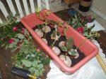 Как правильно черенковать розы – Вам подарили букет роз? Попробуйте укоренить их – 6 способов разножения и укоренения роз пошагово + фото | oazisvdome.ru Все о комнатных и садовых растениях