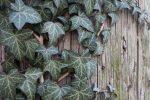 Как размножить плющ уличный – Размножение садового плюща — Ботаничка.ru