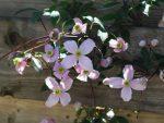 Клематисы размножение – Размножение клематисов черенками осенью: особенности, способы размножения, сроки