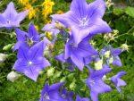 Платикодон астра пинк фото – выращивание из семян, посадка и уход