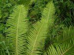 Пример папоротника – примеры растений, местности, где они встречаются, и какими бывают