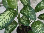 Растение нефролепис – виды с фото, можно ли держать дома