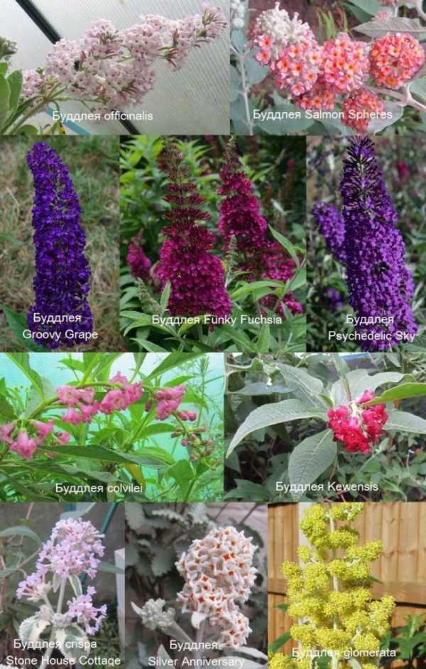 Будлея для сада - фото лучших идей оригинального украшения для сада | 942x600